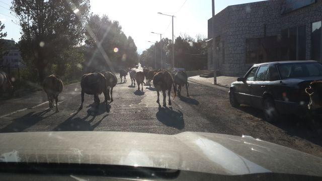 Коровы создают пробки